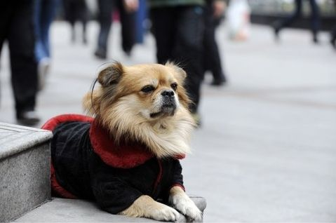 noticias Wang Cai, un perrito de Chongqing